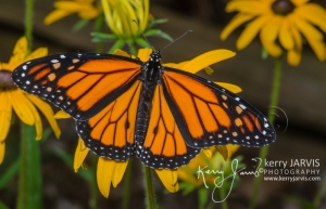 Monarchs_Image