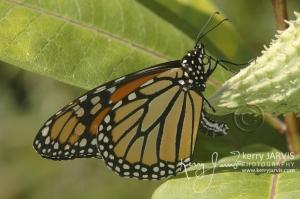 Monarchs_Image11