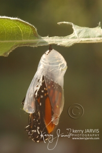 Monarchs_Image12