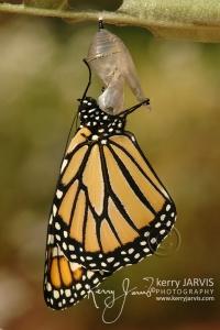Monarchs_Image14