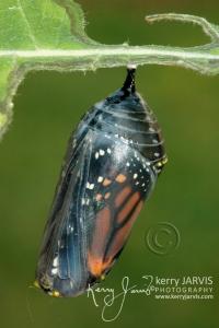 Monarchs_Image15