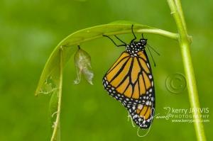 Monarchs_Image2
