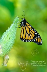 Monarchs_Image3
