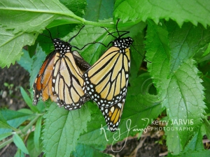 Monarchs_Image4