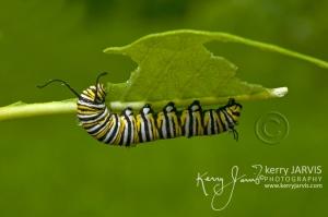 Monarchs_Image6