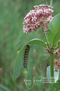 Monarchs_Image8
