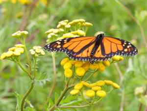 BGOSS Monarch M3 08 27 15 - 1