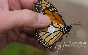 butterflytagging