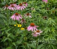 Coneflower Artful Garden Bracebridge July 2017 image by ©kerry JARVIS-6
