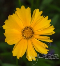 Coreopsis July 2017 image by ©kerry JARVIS