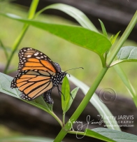 female monarch laying eggs July 2017 image by ©kerry JARVIS-31