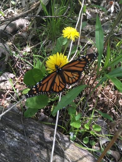 First Monarch 2017