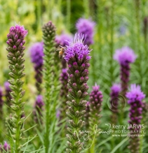 Liatris Garden Bracebridge July 2017 image by ©kerry JARVIS-19
