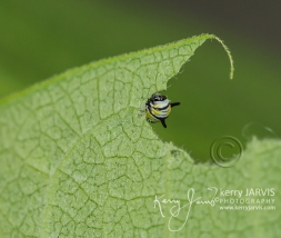 Monarch caterpillar early instar July 2017 image by ©kerry JARVIS-67
