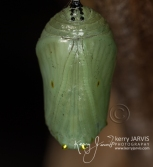 Monarch chrysalis August 31 2017 image by ©kerry JARVIS-8