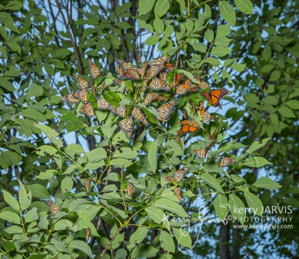 Monarch roost McNabb and Summerhill August 23 2017 images by ©kerry JARVIS-17