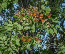 Monarch roost McNabb and Summerhill August 23 2017 images by ©kerry JARVIS-24