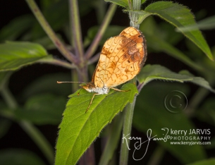 Tawny Crescent July 2017 image by ©kerry JARVIS
