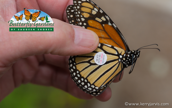 Hand Holding a Tagged Monarch Butterfly