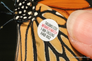 Monarch butterfly with tag on its wing.
