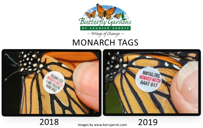 Two tagged monarch butterflies.